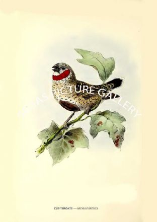 CUT-THROATS ---- MUNIA FASCIATA